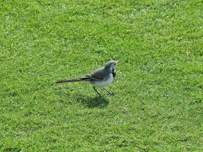 Jay Bird on Green Grass Photo