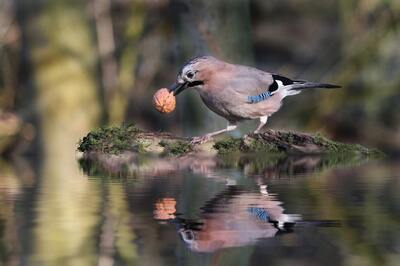 Jay Bird With Walnut on Pond