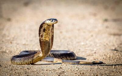 King Cobra Snake Image