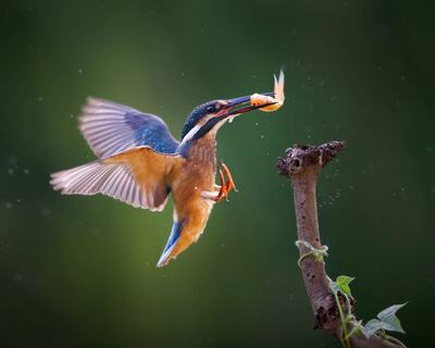 Kingfisher Bird Flying Photo