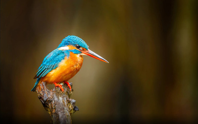 Kingfisher Bird on Branch