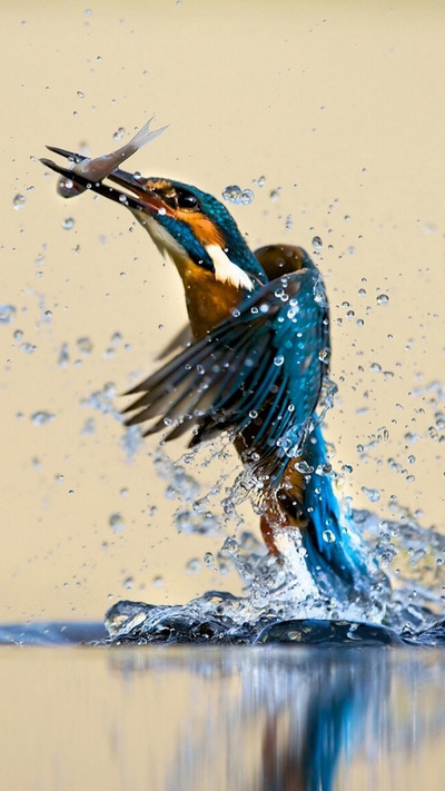 Kingfisher Catching Fish Pic
