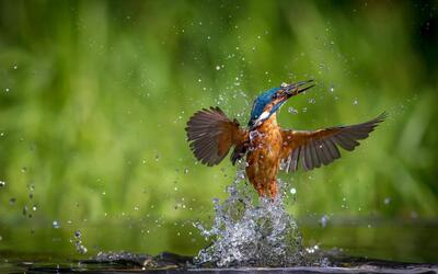 Kingfisher Coming Out From Water After Hunting