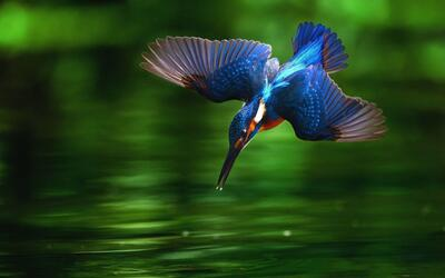Kingfisher Diving Into Water Super Photoshoot