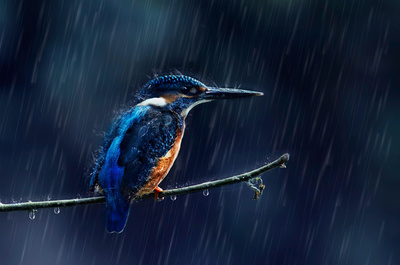 Kingfisher During Rain Photo