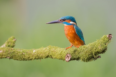Kingfisher on Branch Photography