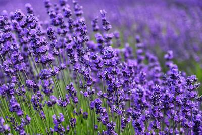 Lavender Farm Background Wallpaper