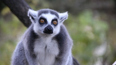 Lemurs Looking Seriously Photo