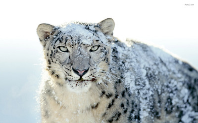 Leopard in Snowy Weather Pic