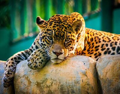 Leopard Rest in Zoo Pic