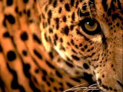 Leopard Superb Wallpaper