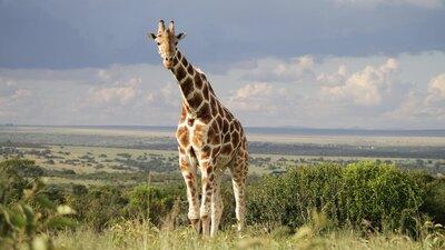 Longest Giraffe 4K Photo
