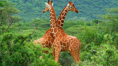 Longest Giraffe 5K Stunning Wallpaper