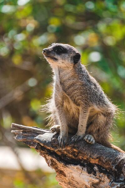 Meerkat Animal on Tree Branch