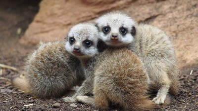 Meerkat Babies HD Photography