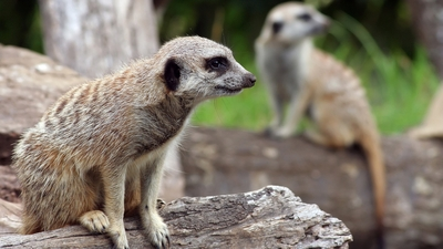 Meerkat Sitting in Rock HD Wallpaper