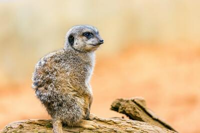 Meerkat Standing on Brown Rock