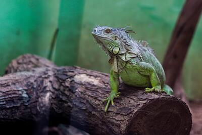 Mexican Green Iguana Animal Pic