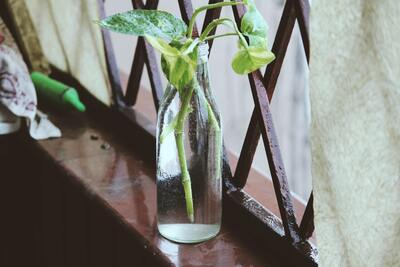 Money Plant in Glass Bottle Wallpaper