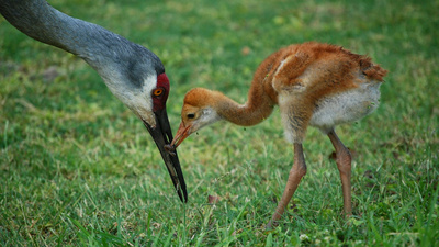 Mother Crane and Baby Wallpaper