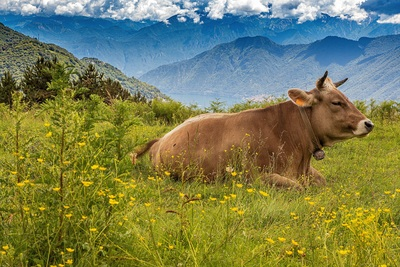 Mountains Cow on Green Grass 4K Wallpaper