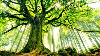 Natural Image of Big Tree in Forest