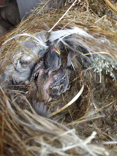 New Born Sparrow on Nest
