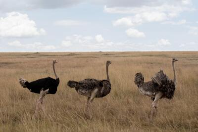 Ostrich Bird Group on Dry Grass Field