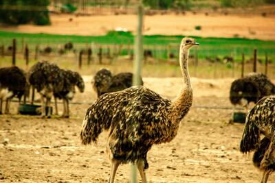 Ostrich Bird Macro Photography