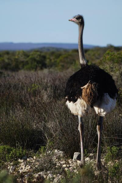 Ostrich Bird Mobile Photo