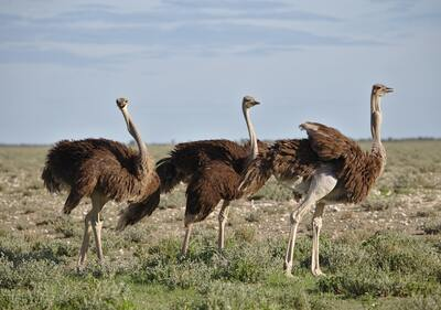 Ostrich Birds Ultra HD Wallpaper