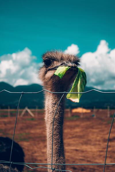 Ostrich Eating Close Face