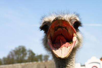 Ostrich with Open Beak