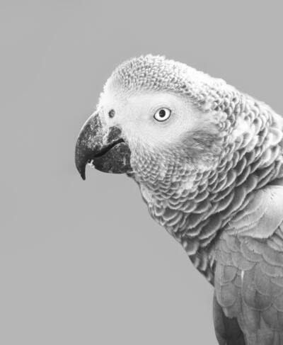 Parrot Black and White Photo