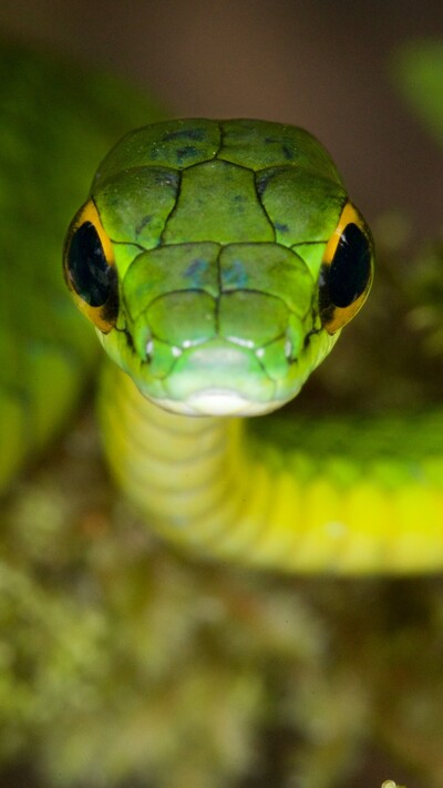 Parrot Snake Danger Eyes