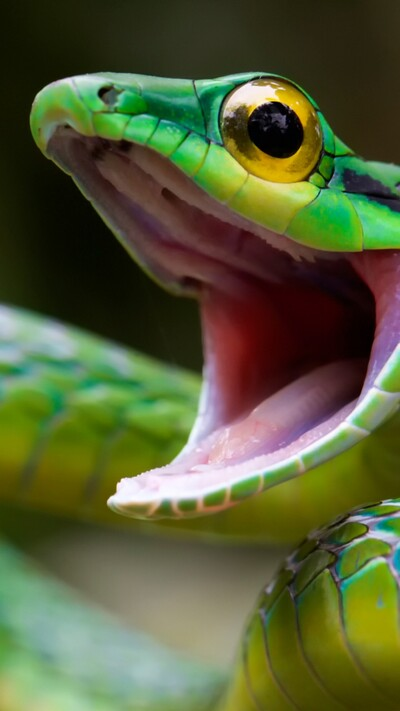 Parrot Snake With Open Mouth