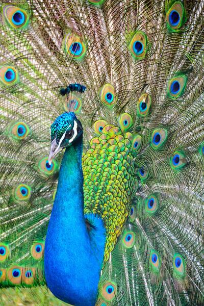 Peacock Peafowl Mobile Pic