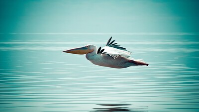 Pelican Bird Flying Above Ocean