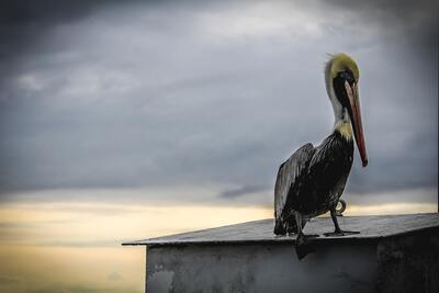 Pelican Bird Photography