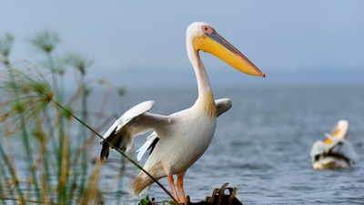 Pelican Bird Standing Near River