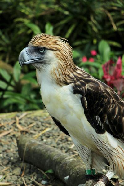 Philippine Great Eagle on Twig in Tropical Park