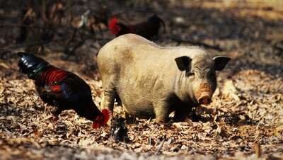 Pig Child and Buckeye Chicken Photo
