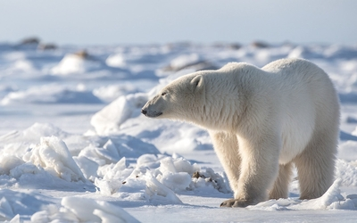 Polar Bear Standing in Snow HD Wallpaper