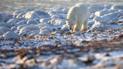 Polar Bear Walking Photo