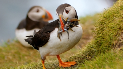 Puffin Bird Caught Fish HD Wallpaper