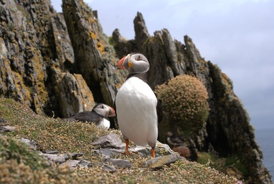 Puffin Bird on Mountain