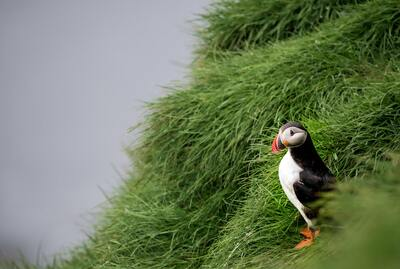 Puffin Bird Ultra HD Wallpaper