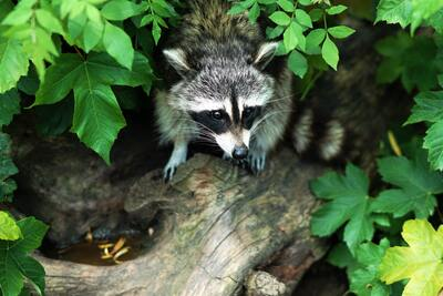 Raccoon in Forest Image