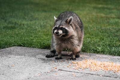 Raccoons Angry Pic
