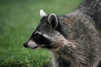 Raccoons High Quality Image